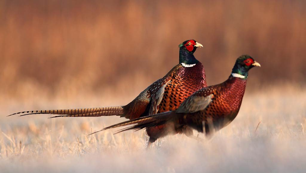 South Dakota Pheasants