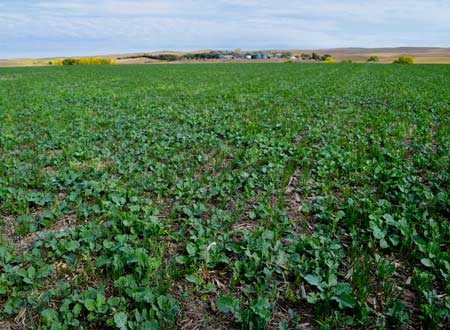 Field of Turnips or Radishes used as a Cover Crop